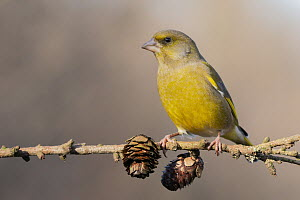 European Greenfinch (Chloris chloris) male, Lower Saxony, Germany - Markus Johannsen/ BIA