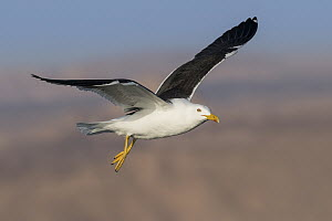 Lesser Black-backed Gull (Larus fuscus) flying, Eilat, Israel - Avi Meir/ BIA