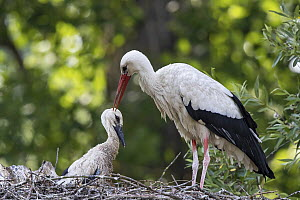 White Stork (Ciconia ciconia) parent with chick in nest, Baden-Wurttemberg, Germany  -  Martin Grimm/ BIA