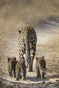 Leopard (Panthera pardus) female with cubs, Sabi-sands Game Reserve, South Africa - Marion Vollborn/ BIA