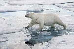 Polar Bear (Ursus maritimus) on ice, Svalbard, Norway - Marion Vollborn/ BIA