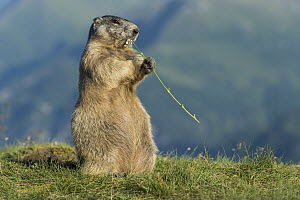 Alpine Marmot (Marmota marmota) feeding on flowers, Hohe Tauern National Park, Austria - Willi Rolfes/ BIA