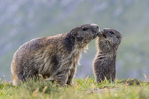 Alpine Marmot (Marmota marmota) parent with young feeding, Hohe Tauern National Park, Austria - Willi Rolfes/ BIA