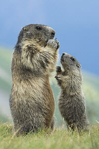 Alpine Marmot (Marmota marmota) parent feeding with begging young, Hohe Tauern National Park, Austria - Willi Rolfes/ BIA