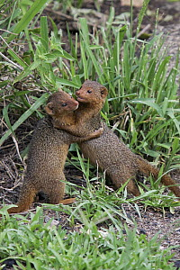 Dwarf Mongoose (Helogale parvula) pair play-fighting, Serengeti National Park, Tanzania  -  Martin Grimm/ BIA