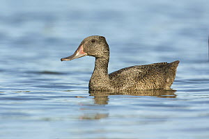 Freckled Duck (Stictonetta naevosa) male, Victoria, Australia - Rob Drummond/ BIA