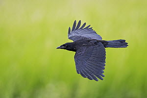 Carrion Crow (Corvus corone) flying, Baden-Wurttemberg, Germany  -  Martin Grimm/ BIA