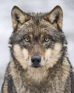European Wolf (Canis lupus), Lower Saxony, Germany - Willi Rolfes/ BIA
