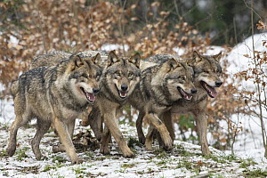 European Wolf (Canis lupus) pack, Lower Saxony, Germany - Willi Rolfes/ BIA