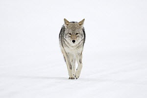 Coyote (Canis latrans) in winter, Yellowstone National Park, Wyoming - Ralf Kistowski/ BIA