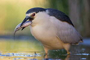 Black-crowned Night Heron (Nycticorax nycticorax) with fish prey, Hungary - Thomas Hinsche/ BIA