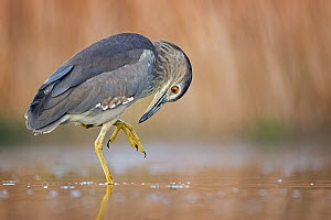 Black-crowned Night Heron (Nycticorax nycticorax) juvenile, Hungary - Thomas Hinsche/ BIA