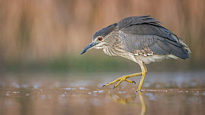 Black-crowned Night Heron (Nycticorax nycticorax) juvenile foraging, Hungary - Thomas Hinsche/ BIA