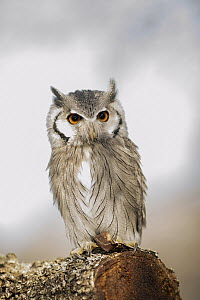 Southern White-faced Owl (Ptilopsis granti), native to Africa  -  Rosl Roessner/ BIA