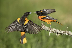 Baltimore Oriole (Icterus galbula) males fighting, Texas - Alan Murphy/ BIA