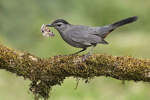 Gray Catbird (Dumetella carolinensis) with moth prey, Texas - Alan Murphy/ BIA