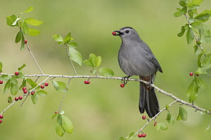 Gray Catbird (Dumetella carolinensis) feeding on berries, Texas - Alan Murphy/ BIA
