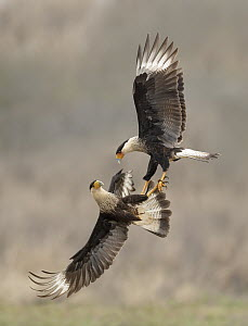Northern Caracara (Caracara cheriway) pair fighting, Texas  -  Alan Murphy/ BIA