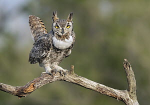 Great Horned Owl (Bubo virginianus), Texas - Alan Murphy/ BIA