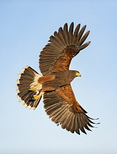 Harris' Hawk (Parabuteo unicinctus) flying, Texas - Alan Murphy/ BIA