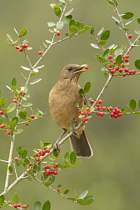 Clay-colored Thrush (Turdus grayi) feeding on berries, Texas - Alan Murphy/ BIA