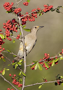 Golden-fronted Woodpecker (Melanerpes aurifrons) female, Texas - Alan Murphy/ BIA