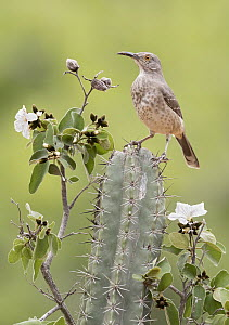 Curve-billed Thrasher (Toxostoma curvirostre), Texas - Alan Murphy/ BIA