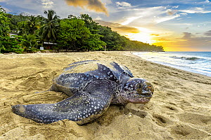 Leatherback Sea Turtle (Dermochelys coriacea) female returning to sea after egg laying, Trinidad and Tobago, Caribbean  -  Shane P. White