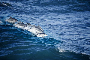 Indo-pacific Bottlenose Dolphin (Tursiops aduncus) pod surfing wave, Garden Route National Park, South Africa - Richard Du Toit
