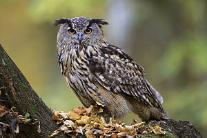 Eurasian Eagle-Owl (Bubo bubo), native to Europe and Asia - Juergen & Christine Sohns