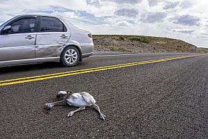 Lesser Rhea (Rhea pennata) chick killed on road, Argentina - Agustin Esmoris