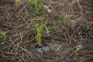 Wiregrass (Aristida stricta) newly planted during habitat restoration work, the plant helps spread fire which is important in the ecosystem, Apalachicola, Florida - Ralph Pace
