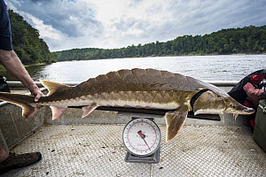 Gulf Sturgeon (Acipenser oxyrinchus) biologist weighing fish before tagging, Apalachicola River, Florida  -  Ralph Pace