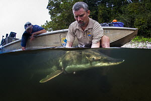 Gulf Sturgeon (Acipenser oxyrinchus) biologist releasing fish after tagging, Apalachicola River, Florida  -  Ralph Pace