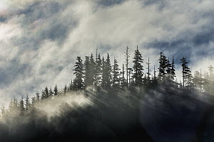 Fog over coniferous forest, Halleck Bay, Alaska - Ralph Pace