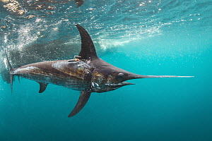 Swordfish (Xiphias gladius) with tags to determine effectiveness of fishing gear, San Diego, California  -  Ralph Pace