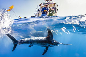 Swordfish (Xiphias gladius) biologists tagging fish to determine effectiveness of fishing gear, San Diego, California  -  Ralph Pace