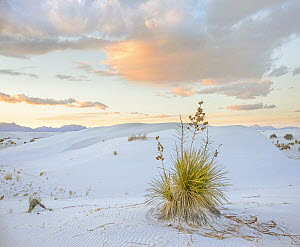 Agave (Agave sp) in desert, White Sands National Monument, New Mexico - Tim Fitzharris