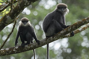 Purple-faced Langur (Trachypithecus vetulus) mother and juvenile, Sinharaja Forest Reserve, Sri Lanka  -  Ch'ien Lee