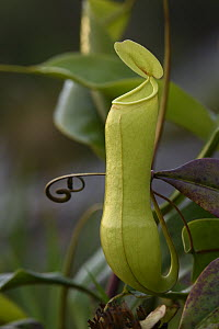 Miraculous Distilling Plant (Nepenthes distillatoria) pitcher, Sinharaja Forest Reserve, Sri Lanka  -  Ch'ien Lee