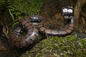 Ceylonese Cylinder Snake (Cylindrophis maculatus) in defensive posture, Kandy, Sri Lanka  -  Ch'ien Lee