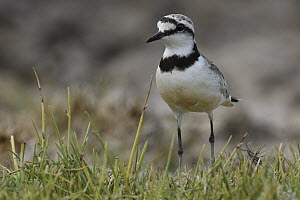 Black-banded Plover (Charadrius thoracicus), Mangily, Madagascar - Ch'ien Lee