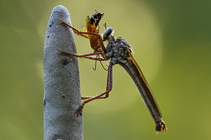 Robber Fly (Microstylum sp) with spider prey, Berenty Private Reserve, Madagascar - Ch'ien Lee
