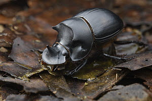Dung Beetle (Catharsius dayacus) male, Sabah, Borneo, Malaysia - Ch'ien Lee