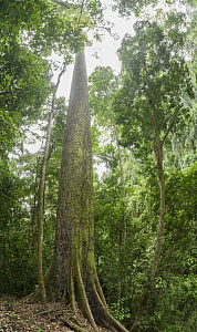 Yellow Meranti (Shorea faguetiana), named 'Menara' is the tallest recorded tropical tree in the world measuring100.8 meters recorded in January 2019, Danum Valley Conservation Area, Borneo, Sabah, Mal...  -  Ch'ien Lee