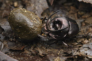 Dung Beetle (Proagoderus watanabei) male feeding on scat, Danum Valley Conservation Area, Borneo, Sabah, Malaysia - Ch'ien Lee