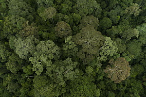 Rainforest canopy during mass flowering, Danum Valley Conservation Area, Sabah, Borneo, Malaysia - Ch'ien Lee