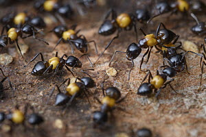 Ant (Crematogaster inflata) group, Kubah National Park, Sarawak, Borneo, Malaysia - Ch'ien Lee