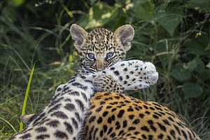 Leopard (Panthera pardus) five-week-old cub playing with mother, Jao Reserve, Botswana - Suzi Eszterhas
