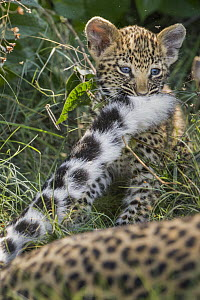 Leopard (Panthera pardus) five-week-old cub playing with mother's tail, Jao Reserve, Botswana  -  Suzi Eszterhas